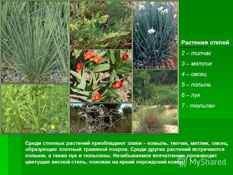 Растения степей 2 – типчак 3 – мятлик 4 – овсец 5 – полынь 6 – лук 7 - тюльпан Среди степных растений преобладают злаки – ковыль, типчак, мятлик, овсец, образующие плотный травяной покров. Среди других растений встречаются полыни, а также лук и тюльп