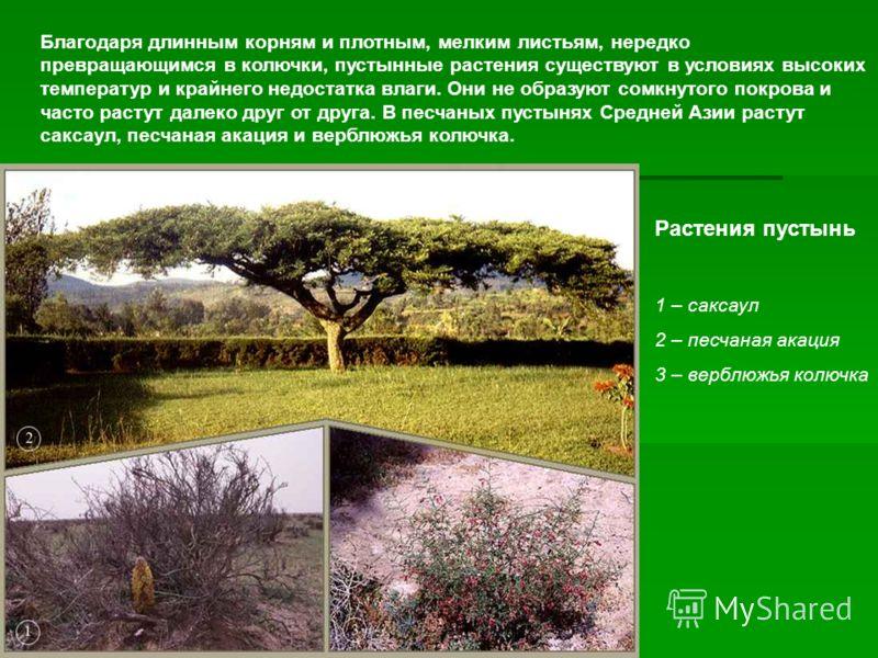 Благодаря длинным корням и плотным, мелким листьям, нередко превращающимся в колючки, пустынные растения существуют в условиях высоких температур и кр