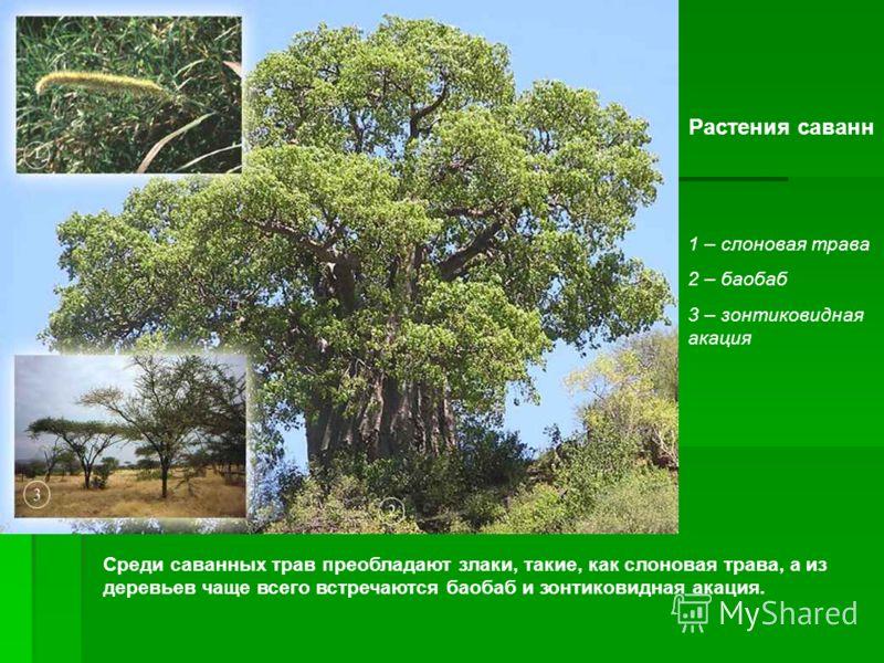 Растения саванн 1 – слоновая трава 2 – баобаб 3 – зонтиковидная акация Среди саванных трав преобладают злаки, такие, как слоновая трава, а из деревьев