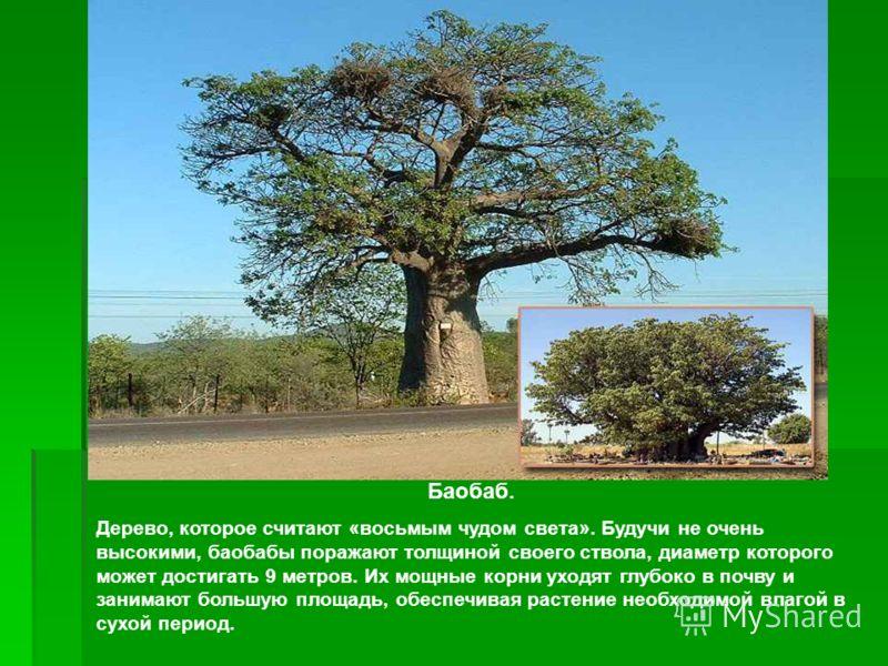 Баобаб. Дерево, которое считают «восьмым чудом света». Будучи не очень высокими, баобабы поражают толщиной своего ствола, диаметр которого может достигать 9 метров. Их мощные корни уходят глубоко в почву и занимают большую площадь, обеспечивая растен