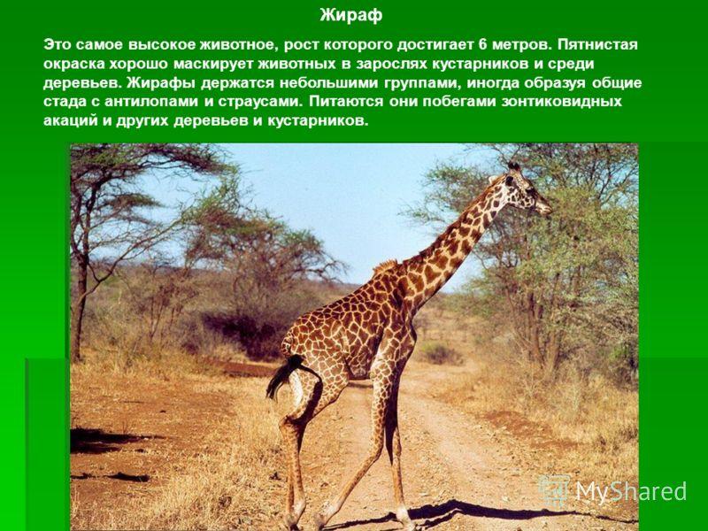 Жираф Это самое высокое животное, рост которого достигает 6 метров. Пятнистая окраска хорошо маскирует животных в зарослях кустарников и среди деревье