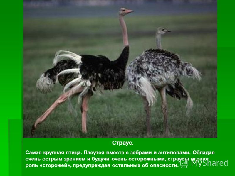Страус. Самая крупная птица. Пасутся вместе с зебрами и антилопами. Обладая очень острым зрением и будучи очень осторожными, страусы играют роль «стор