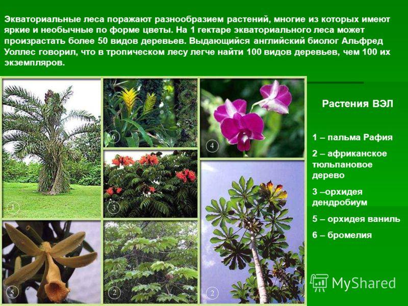 Растения ВЭЛ 1 – пальма Рафия 2 – африканское тюльпановое дерево 3 –орхидея дендробиум 5 – орхидея ваниль 6 – бромелия Экваториальные леса поражают разнообразием растений, многие из которых имеют яркие и необычные по форме цветы. На 1 гектаре экватор