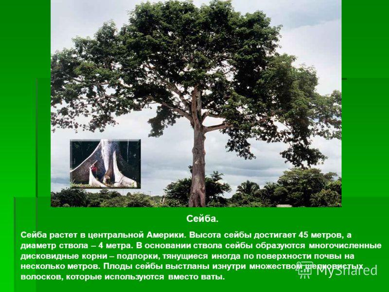 Сейба. Сейба растет в центральной Америки. Высота сейбы достигает 45 метров, а диаметр ствола – 4 метра. В основании ствола сейбы образуются многочисленные дисковидные корни – подпорки, тянущиеся иногда по поверхности почвы на несколько метров. Плоды