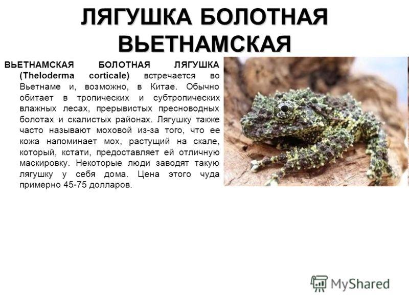 ЛЯГУШКА БОЛОТНАЯ ВЬЕТНАМСКАЯ ВЬЕТНАМСКАЯ БОЛОТНАЯ ЛЯГУШКА (Theloderma corticale) встречается во Вьетнаме и, возможно, в Китае. Обычно обитает в тропич