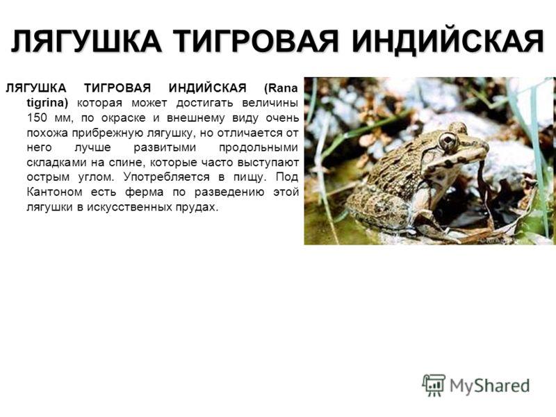 ЛЯГУШКА ТИГРОВАЯ ИНДИЙСКАЯ ЛЯГУШКА ТИГРОВАЯ ИНДИЙСКАЯ (Rana tigrina) которая может достигать величины 150 мм, по окраске и внешнему виду очень похожа