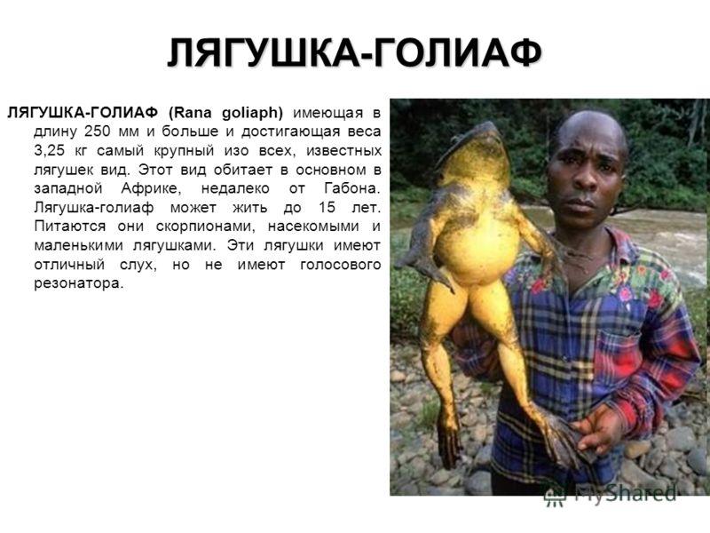 ЛЯГУШКА-ГОЛИАФ ЛЯГУШКА-ГОЛИАФ (Rana goliaph) имеющая в длину 250 мм и больше и достигающая веса 3,25 кг самый крупный изо всех, известных лягушек вид. Этот вид обитает в основном в западной Африке, недалеко от Габона. Лягушка-голиаф может жить до 15
