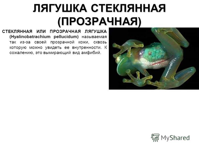 ЛЯГУШКА СТЕКЛЯННАЯ (ПРОЗРАЧНАЯ) СТЕКЛЯННАЯ ИЛИ ПРОЗРАЧНАЯ ЛЯГУШКА (Hyalinobatrachium pellucidum) называемая так из-за своей прозрачной кожи, сквозь ко