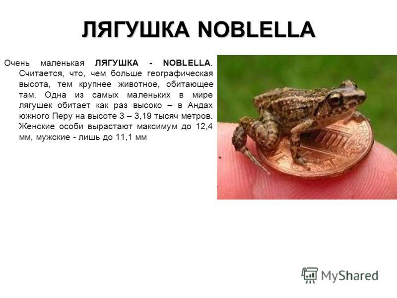 ЛЯГУШКА NOBLELLA Очень маленькая ЛЯГУШКА - NOBLELLA. Считается, что, чем больше географическая высота, тем крупнее животное, обитающее там. Одна из самых маленьких в мире лягушек обитает как раз высоко – в Андах южного Перу на высоте 3 – 3,19 тысяч м