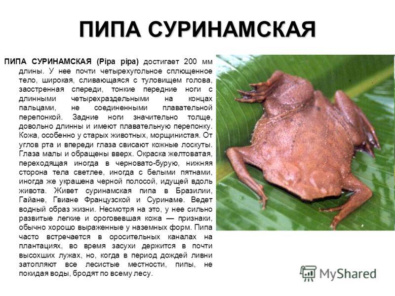 ПИПА СУРИНАМСКАЯ ПИПА СУРИНАМСКАЯ (Pipa pipa) достигает 200 мм длины. У нее почти четырехугольное сплющенное тело, широкая, сливающаяся с туловищем го