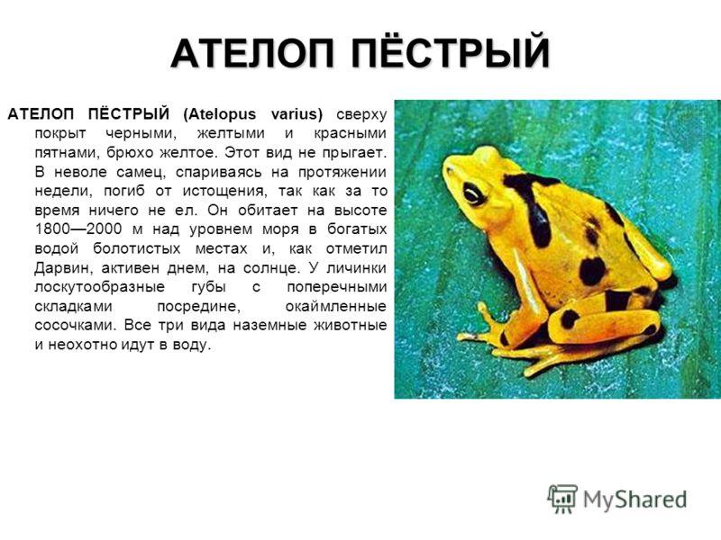 АТЕЛОП ПЁСТРЫЙ АТЕЛОП ПЁСТРЫЙ (Atelopus varius) сверху покрыт черными, желтыми и красными пятнами, брюхо желтое. Этот вид не прыгает. В неволе самец,