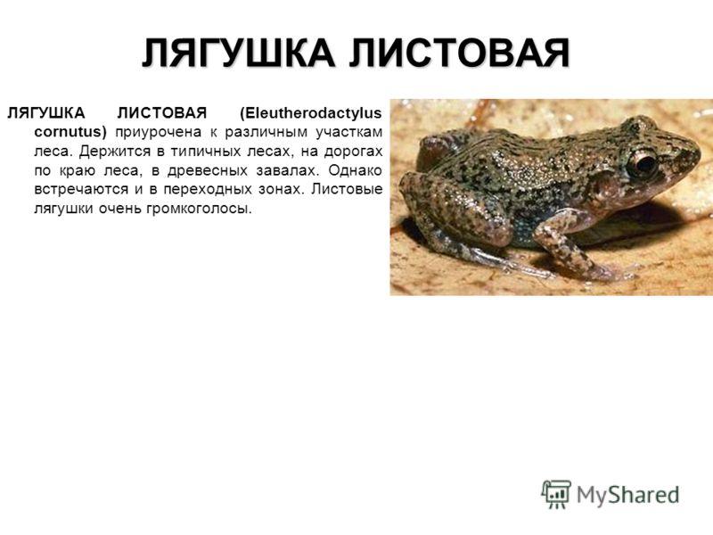 ЛЯГУШКА ЛИСТОВАЯ ЛЯГУШКА ЛИСТОВАЯ (Eleutherodactylus cornutus) приурочена к различным участкам леса. Держится в типичных лесах, на дорогах по краю леса, в древесных завалах. Однако встречаются и в переходных зонах. Листовые лягушки очень громкоголосы