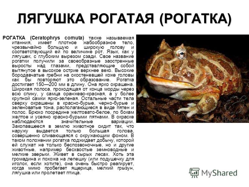 ЛЯГУШКА РОГАТАЯ (РОГАТКА) РОГАТКА (Ceratophrys cornuta) также называемая итанния, имеет плотное жабообразное тело, чрезвычайно большую и широкую голову и соответствующий ей по величине рот. Язык, как у лягушек, с глубоким вырезом сзади. Свое название