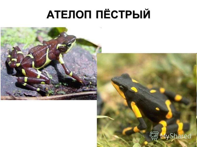 АТЕЛОП ПЁСТРЫЙ