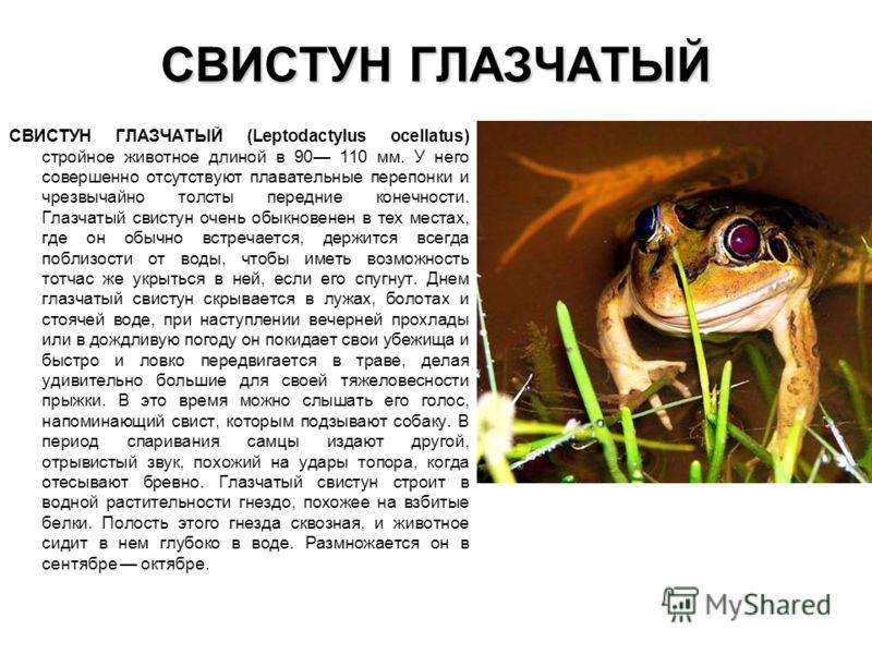 СВИСТУН ГЛАЗЧАТЫЙ СВИСТУН ГЛАЗЧАТЫЙ (Leptodactylus ocellatus) стройное животное длиной в 90 110 мм. У него совершенно отсутствуют плавательные перепонки и чрезвычайно толсты передние конечности. Глазчатый свистун очень обыкновенен в тех местах, где о