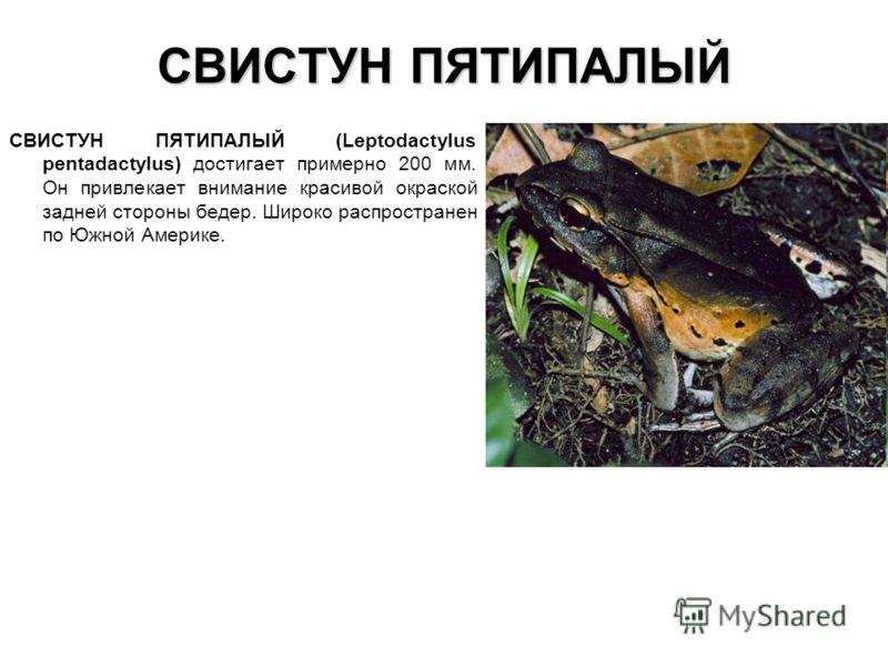 СВИСТУН ПЯТИПАЛЫЙ СВИСТУН ПЯТИПАЛЫЙ (Leptodactylus pentadactylus) достигает примерно 200 мм. Он привлекает внимание красивой окраской задней стороны бедер. Широко распространен по Южной Америке.