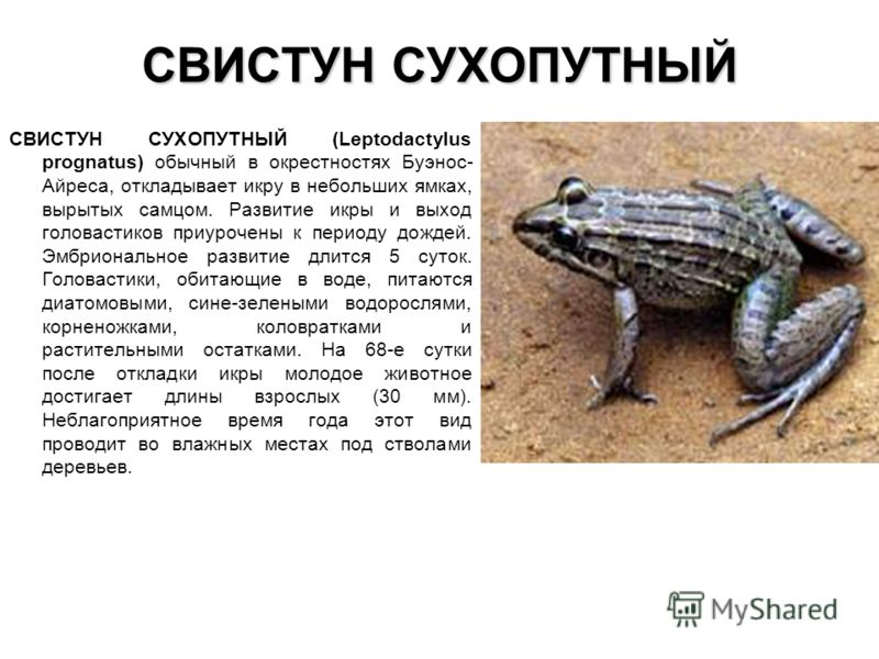 СВИСТУН СУХОПУТНЫЙ СВИСТУН СУХОПУТНЫЙ (Leptodactylus prognatus) обычный в окрестностях Буэнос- Айреса, откладывает икру в небольших ямках, вырытых сам