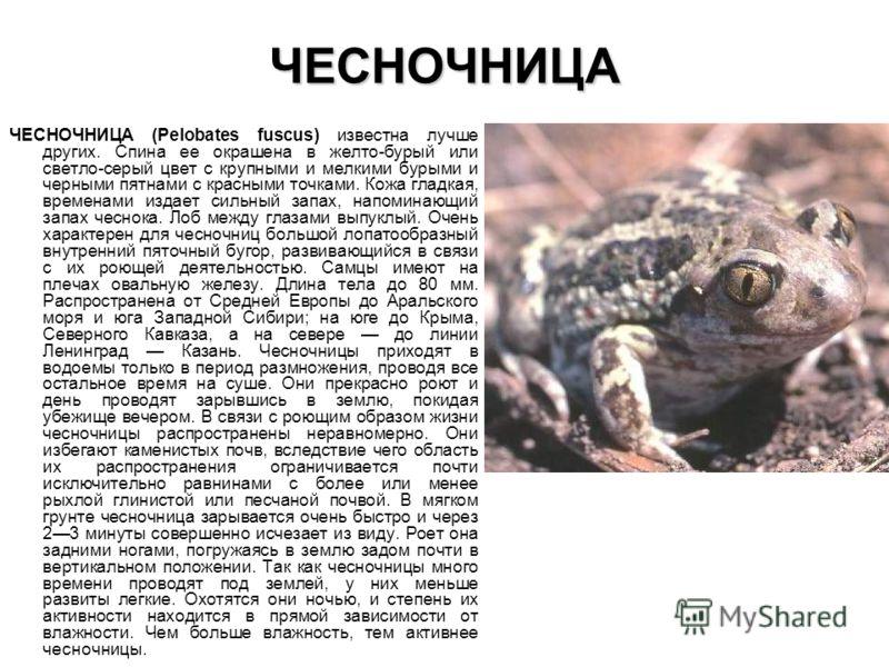 ЧЕСНОЧНИЦА ЧЕСНОЧНИЦА (Pelobates fuscus) известна лучше других. Спина ее окрашена в желто-бурый или светло-серый цвет с крупными и мелкими бурыми и черными пятнами с красными точками. Кожа гладкая, временами издает сильный запах, напоминающий запах ч