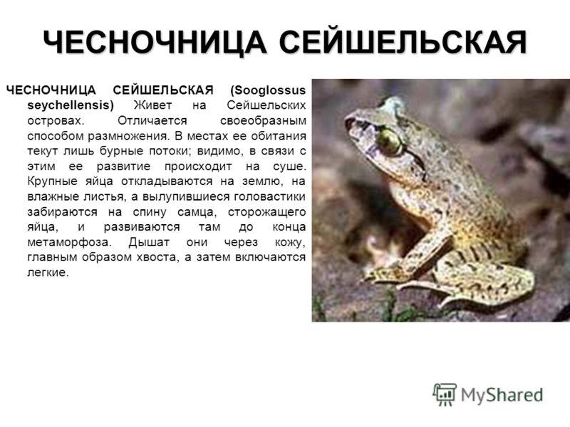 ЧЕСНОЧНИЦА СЕЙШЕЛЬСКАЯ ЧЕСНОЧНИЦА СЕЙШЕЛЬСКАЯ (Sooglossus seychellensis) Живет на Сейшельских островах. Отличается своеобразным способом размножения.