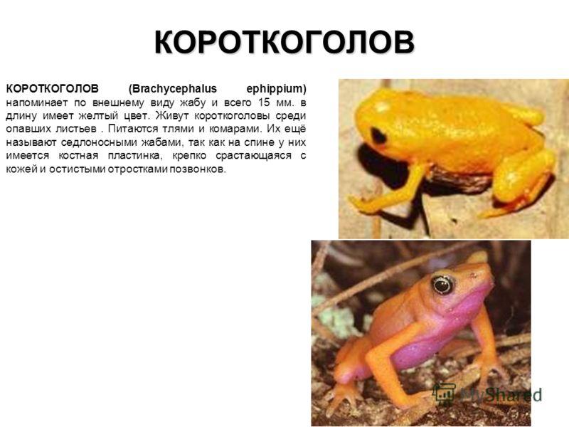 КОРОТКОГОЛОВ КОРОТКОГОЛОВ (Brachycephalus ephippium) напоминает по внешнему виду жабу и всего 15 мм. в длину имеет желтый цвет. Живут короткоголовы среди опавших листьев. Питаются тлями и комарами. Их ещё называют седлоносными жабами, так как на спин