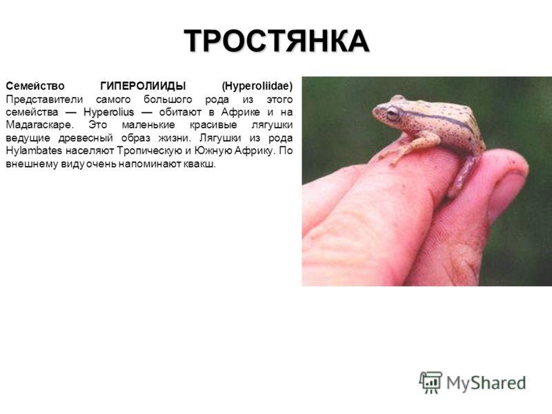 ТРОСТЯНКА Hyperolius Семейство ГИПЕРОЛИИДЫ (Hyperoliidae) Представители самого большого рода из этого семейства Hyperolius обитают в Африке и на Мадагаскаре. Это маленькие красивые лягушки ведущие древесный образ жизни. Лягушки из рода Hylambates нас