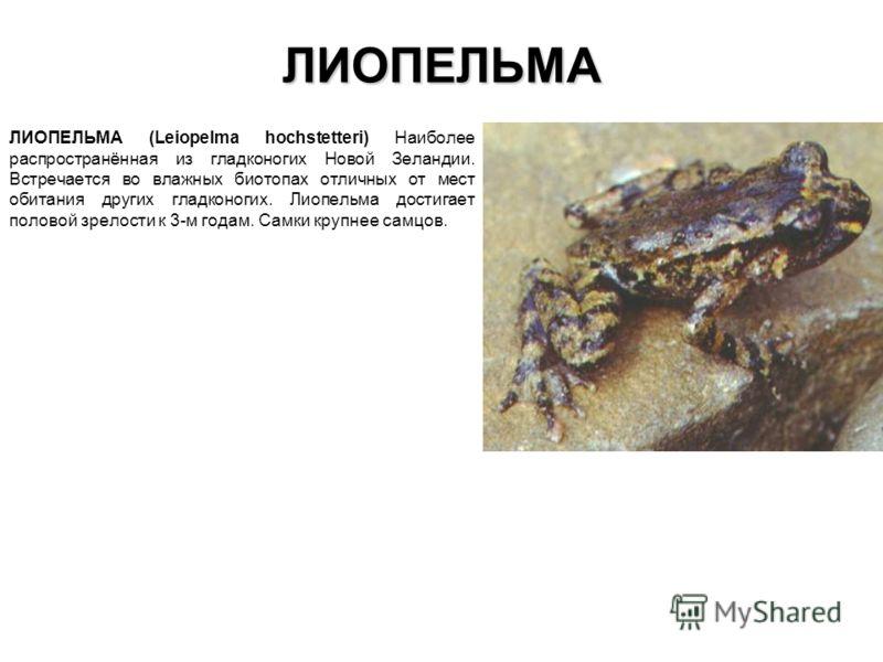 ЛИОПЕЛЬМА ЛИОПЕЛЬМА (Leiopelma hochstetteri) Наиболее распространённая из гладконогих Новой Зеландии. Встречается во влажных биотопах отличных от мест обитания других гладконогих. Лиопельма достигает половой зрелости к 3-м годам. Самки крупнее самцов