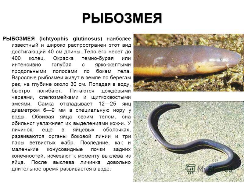 РЫБОЗМЕЯ РЫБОЗМЕЯ (Ichtyophis glutinosus) наиболее известный и широко распространен этот вид достигающий 40 см длины. Тело его несет до 400 колец. Окр