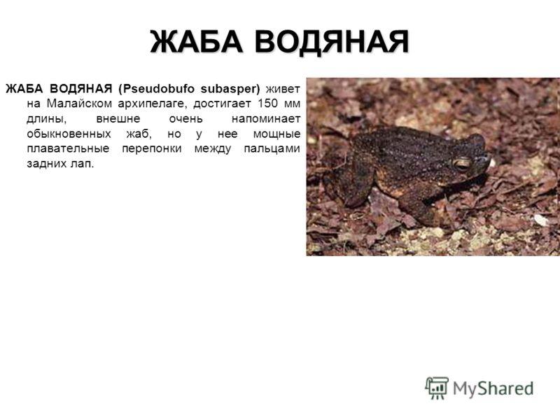 ЖАБА ВОДЯНАЯ ЖАБА ВОДЯНАЯ (Pseudobufo subasper) живет на Малайском архипелаге, достигает 150 мм длины, внешне очень напоминает обыкновенных жаб, но у