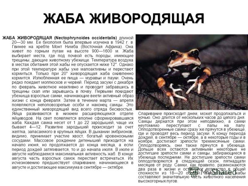 ЖАБА ЖИВОРОДЯЩАЯ ЖАБА ЖИВОРОДЯЩАЯ (Nectophrynoides occidentalis) длиной 2030 мм. Ее биология была впервые изучена в 1942 г. в Гвинее на хребте Монт Ни