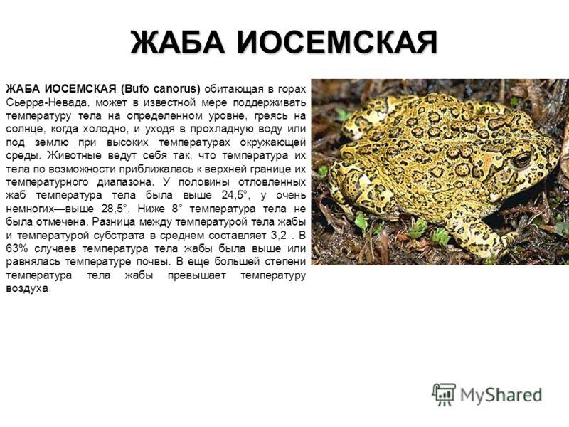 ЖАБА ИОСЕМСКАЯ ЖАБА ИОСЕМСКАЯ (Bufo canorus) обитающая в горах Сьерра-Невада, может в известной мере поддерживать температуру тела на определенном уро