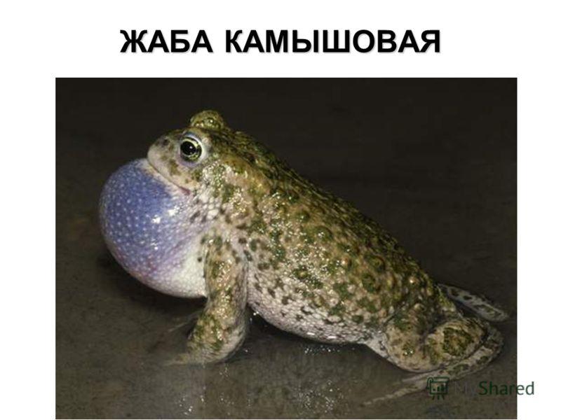 ЖАБА КАМЫШОВАЯ