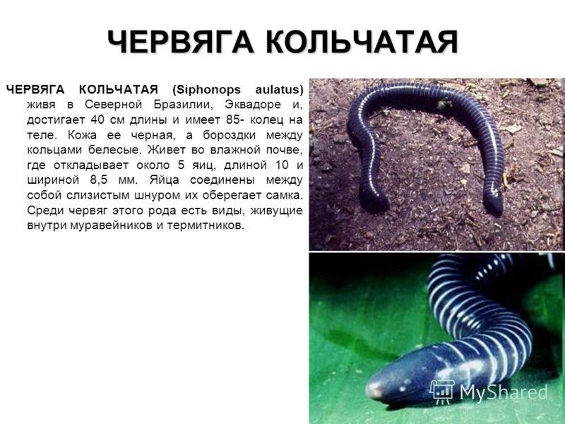 ЧЕРВЯГА КОЛЬЧАТАЯ ЧЕРВЯГА КОЛЬЧАТАЯ (Siphonops aulatus) живя в Северной Бразилии, Эквадоре и, достигает 40 см длины и имеет 85- колец на теле. Кожа ее черная, а бороздки между кольцами белесые. Живет во влажной почве, где откладывает около 5 яиц, дли