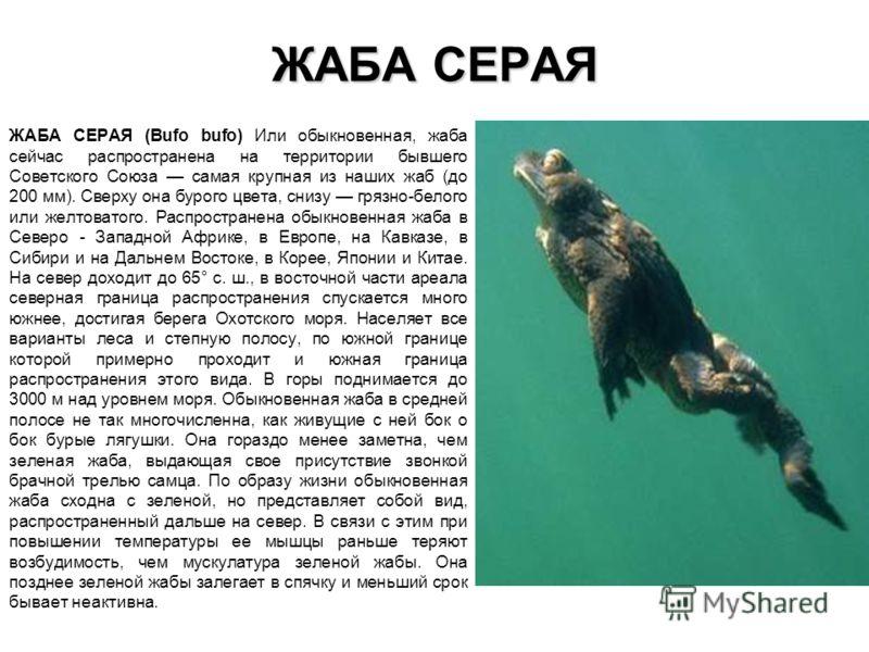 ЖАБА СЕРАЯ ЖАБА СЕРАЯ (Bufo bufo) Или обыкновенная, жаба сейчас распространена на территории бывшего Советского Союза самая крупная из наших жаб (до 200 мм). Сверху она бурого цвета, снизу грязно-белого или желтоватого. Распространена обыкновенная жа