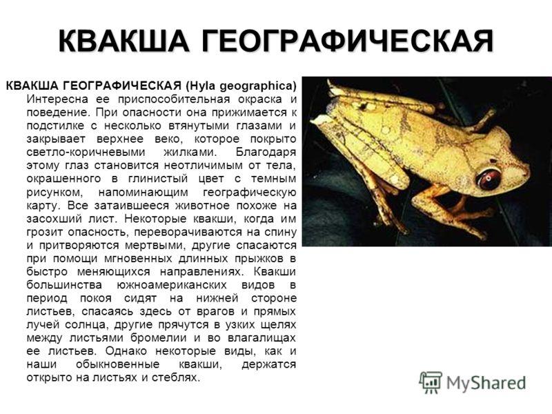 КВАКША ГЕОГРАФИЧЕСКАЯ КВАКША ГЕОГРАФИЧЕСКАЯ (Hyla geographica) Интересна ее приспособительная окраска и поведение. При опасности она прижимается к подстилке с несколько втянутыми глазами и закрывает верхнее веко, которое покрыто светло-коричневыми жи