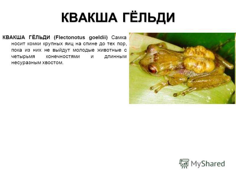 КВАКША ГЁЛЬДИ КВАКША ГЁЛЬДИ (Flectonotus goeldii) Самка носит комки крупных яиц на спине до тех пор, пока из них не выйдут молодые животные с четырьмя конечностями и длинным несуразным хвостом.