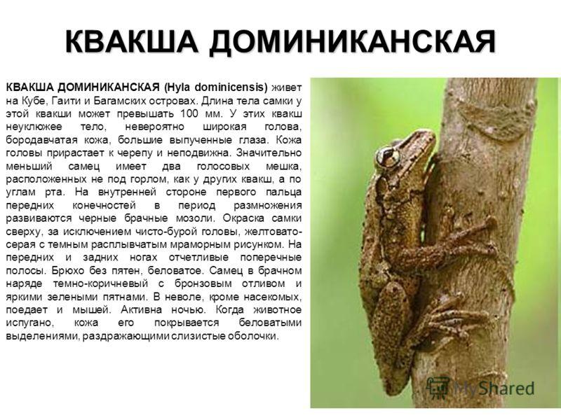 КВАКША ДОМИНИКАНСКАЯ КВАКША ДОМИНИКАНСКАЯ (Hyla dominicensis) живет на Кубе, Гаити и Багамских островах. Длина тела самки у этой квакши может превышать 100 мм. У этих квакш неуклюжее тело, невероятно широкая голова, бородавчатая кожа, большие выпучен