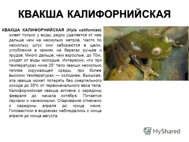 КВАКША КАЛИФОРНИЙСКАЯ КВАКША КАЛИФОРНИЙСКАЯ (Hyla californiae) живет только у воды, редко удаляется от нее дальше чем на несколько метров. Часто по не