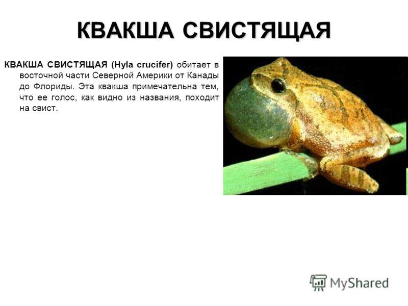 КВАКША СВИСТЯЩАЯ КВАКША СВИСТЯЩАЯ (Hyla crucifer) обитает в восточной части Северной Америки от Канады до Флориды. Эта квакша примечательна тем, что ее голос, как видно из названия, походит на свист.