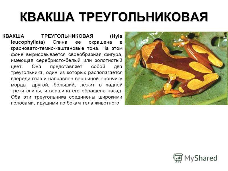 КВАКША ТРЕУГОЛЬНИКОВАЯ КВАКША ТРЕУГОЛЬНИКОВАЯ (Hyla leucophyllata) Спина ее окрашена в красновато-темно-каштановые тона. На этом фоне вырисовывается своеобразная фигура, имеющая серебристо-белый или золотистый цвет. Она представляет собой два треугол