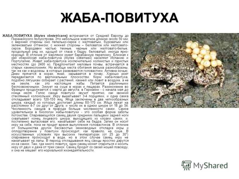 ЖАБА-ПОВИТУХА ЖАБА-ПОВИТУХА (Alytes obstetricans) встречается от Средней Европы до Пиренейского полуострова. Это небольшое животное длиною около 50 мм