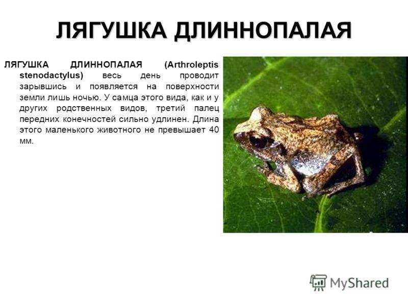 ЛЯГУШКА ДЛИННОПАЛАЯ ЛЯГУШКА ДЛИННОПАЛАЯ (Arthroleptis stenodactylus) весь день проводит зарывшись и появляется на поверхности земли лишь ночью. У самц