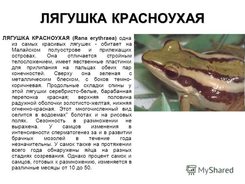 ЛЯГУШКА КРАСНОУХАЯ ЛЯГУШКА КРАСНОУХАЯ (Rana erythraea) одна из самых красивых лягушек - обитает на Малайском полуострове и прилежащих островах. Она отличается стройным телосложением, имеет явственные пластинки для прилипания на пальцах обеих пар коне