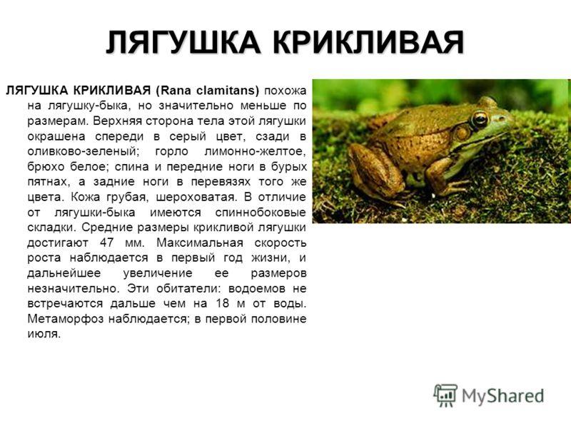 ЛЯГУШКА КРИКЛИВАЯ ЛЯГУШКА КРИКЛИВАЯ (Rana clamitans) похожа на лягушку-быка, но значительно меньше по размерам. Верхняя сторона тела этой лягушки окрашена спереди в серый цвет, сзади в оливково-зеленый; горло лимонно-желтое, брюхо белое; спина и пере