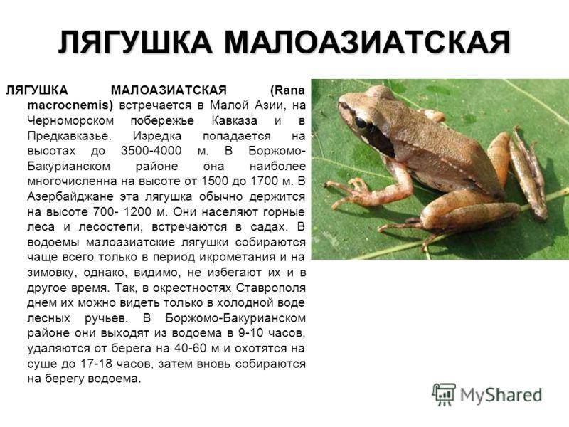 ЛЯГУШКА МАЛОАЗИАТСКАЯ ЛЯГУШКА МАЛОАЗИАТСКАЯ (Rana macrocnemis) встречается в Малой Азии, на Черноморском побережье Кавказа и в Предкавказье. Изредка попадается на высотах до 3500-4000 м. В Боржомо- Бакурианском районе она наиболее многочисленна на вы