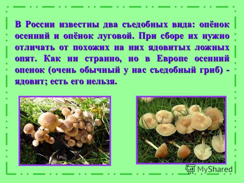 В России известны два съедобных вида: опёнок осенний и опёнок луговой. При сборе их нужно отличать от похожих на них ядовитых ложных опят. Как ни странно, но в Европе осенний опенок (очень обычный у нас съедобный гриб) - ядовит; есть его нельзя.