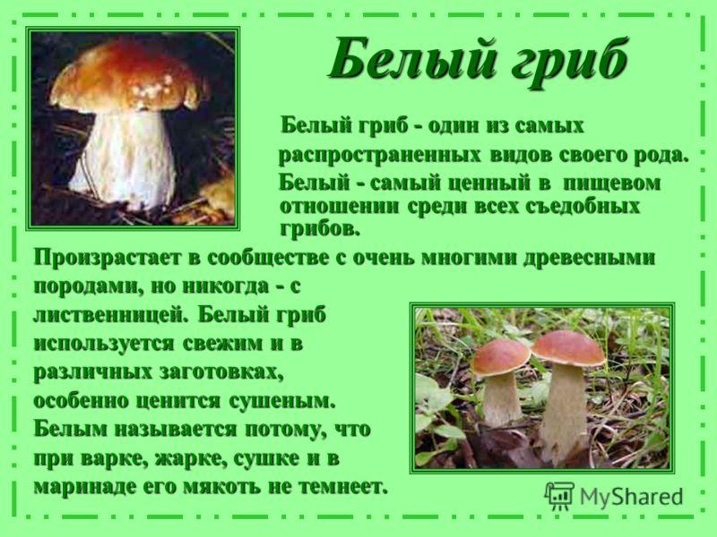 Белый гриб Белый гриб - один из самых Белый гриб - один из самых распространенных видов своего рода. распространенных видов своего рода. Белый - самый ценный в пищевом отношении среди всех съедобных грибов. Белый - самый ценный в пищевом отношении ср