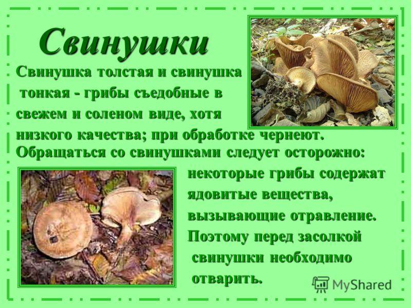 Свинушки Свинушка толстая и свинушка тонкая - грибы съедобные в тонкая - грибы съедобные в свежем и соленом виде, хотя низкого качества; при обработке чернеют. Обращаться со свинушками следует осторожно: некоторые грибы содержат некоторые грибы содер