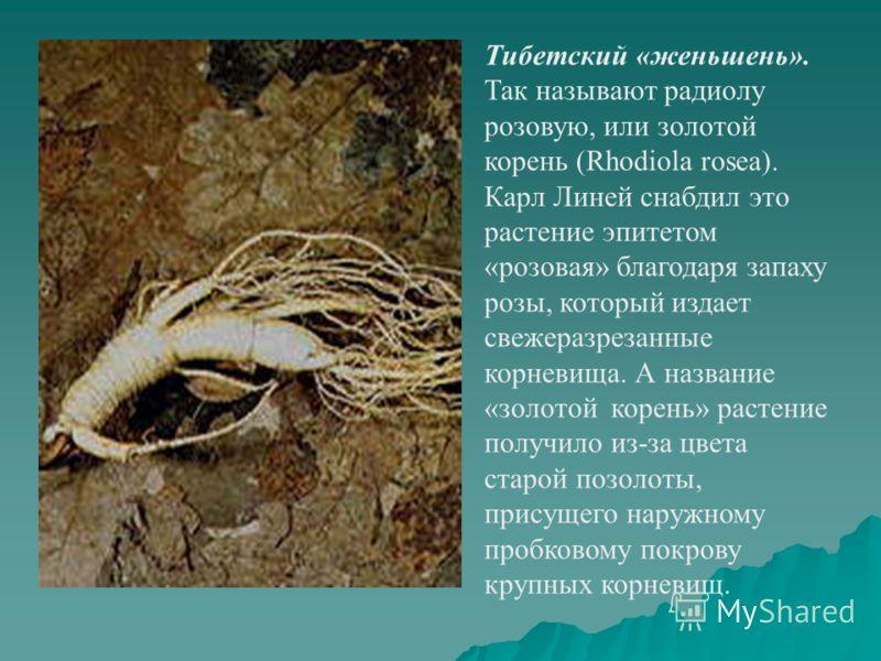 Тибетский «женьшень». Так называют радиолу розовую, или золотой корень (Rhodiola rosea). Карл Линей снабдил это растение эпитетом «розовая» благодаря запаху розы, который издает свежеразрезанные корневища. А название «золотой корень» растение получил