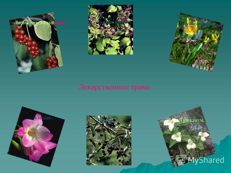 Лимонник китайский Аралия в цвету. Лекарственные травы Кандык.. Цветок фрезии ЧеремухаТриллиум.
