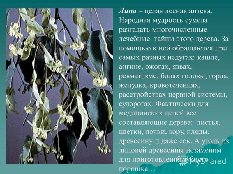 Липа – целая лесная аптека. Народная мудрость сумела разгадать многочисленные лечебные тайны этого дерева. За помощью к ней обращаются при самых разных недугах: кашле, ангине, ожогах, язвах, ревматизме, болях головы, горла, желудка, кровотечениях, ра